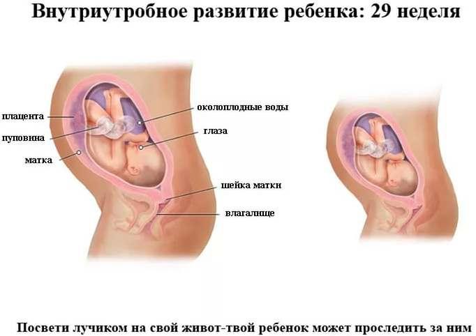 Внутриутробное развитие ребенка 29 неделя