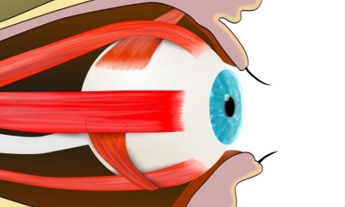 Глазную мускулатуру нужно тренировать