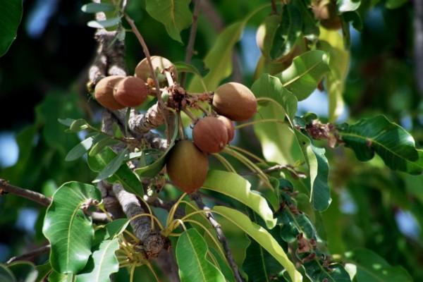 Плоды дерева карите