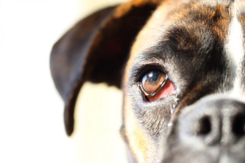 У собаки слезятся глаза: что делать и как лечить?
