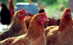 Конъюнктивит у кур: как вылечить домашнюю птицу?