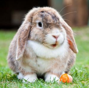 Конъюнктивит у кроликов: как проявляется и как лечить?