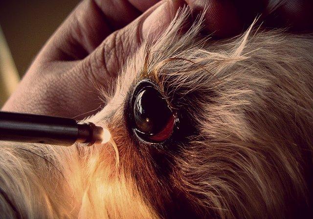Кератит у собак: как лечить воспаление роговицы