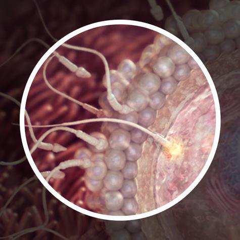 Сперматозоиды выделяют секрет разрушающий защитный слой яйцеклетки