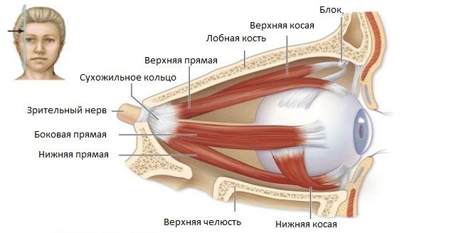 Глазная мускулатура