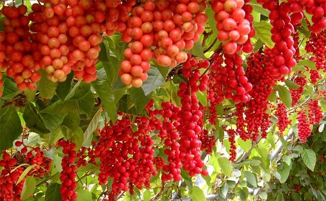 Плоды китайского лимонника напоминают крупную калину или виноград красного цвета