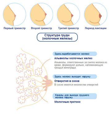 Грудь беременной по триместрам