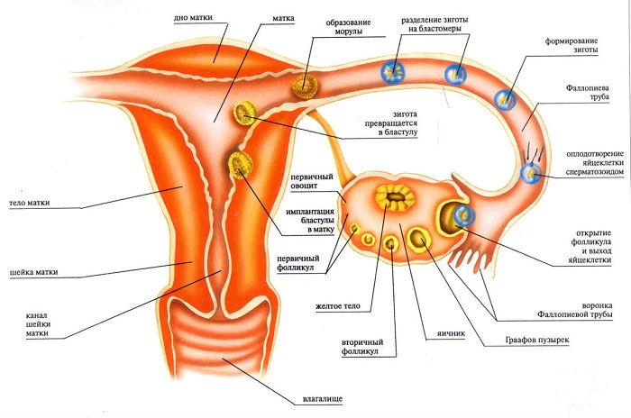 Основные этапы развития оплодотворённой яйцеклетки