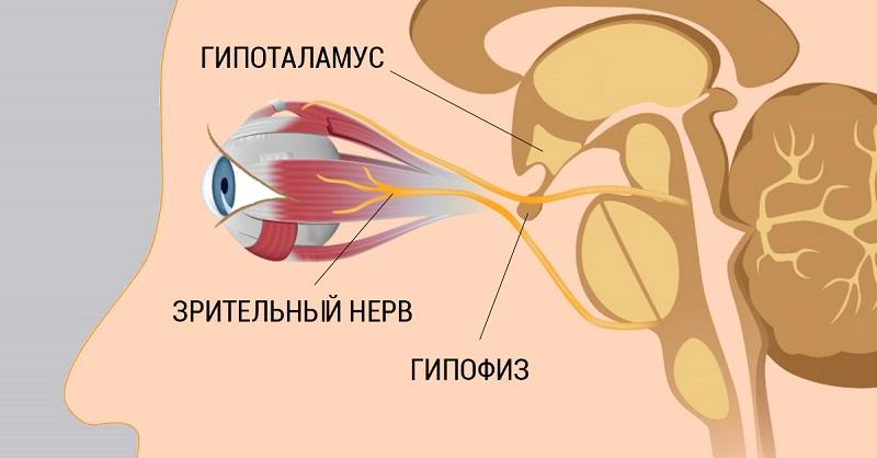 Глаза тесно связаны с центральной нервной системой