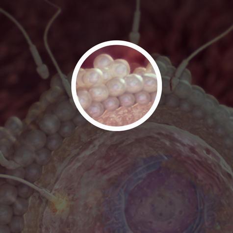Яйцеклетка покрыта слоем защитных клеток