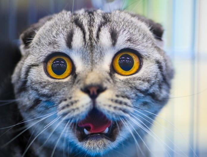 Конъюнктивит у кошек: как и чем лечить?